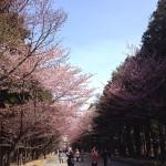 北海道ではゴールデンウィークに桜が満開!